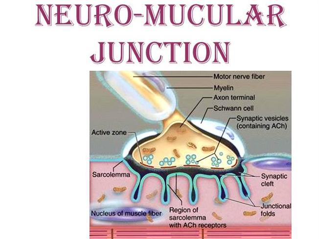 ... Junction as well as neuromuscular junction labeled diagram