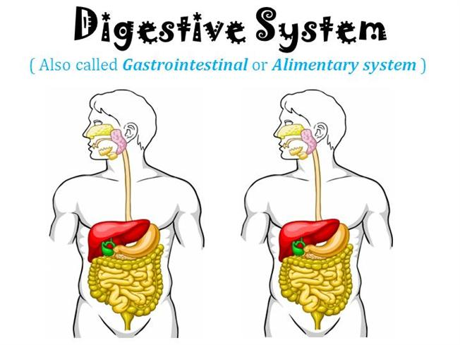 Digestive system for grade 4 powerpoint