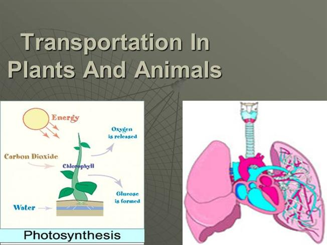 transport system of plants and animals These two tissues transport fluid and nutrients all the vascular tissues within a particular plant together constitute the vascular tissue system of that plant.