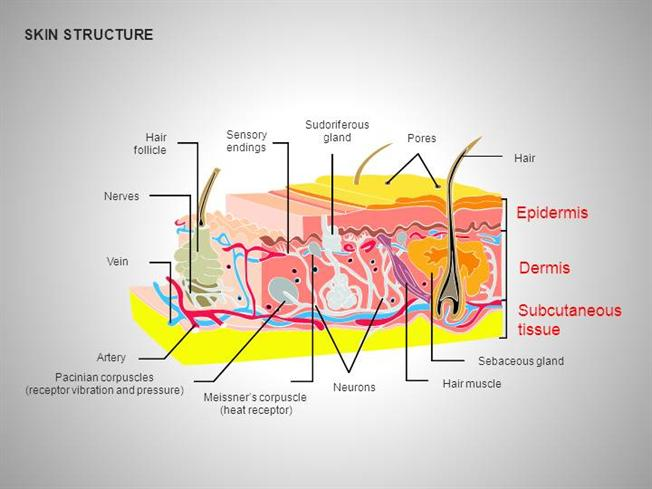 Skin       Structure       Diagrams     authorSTREAM