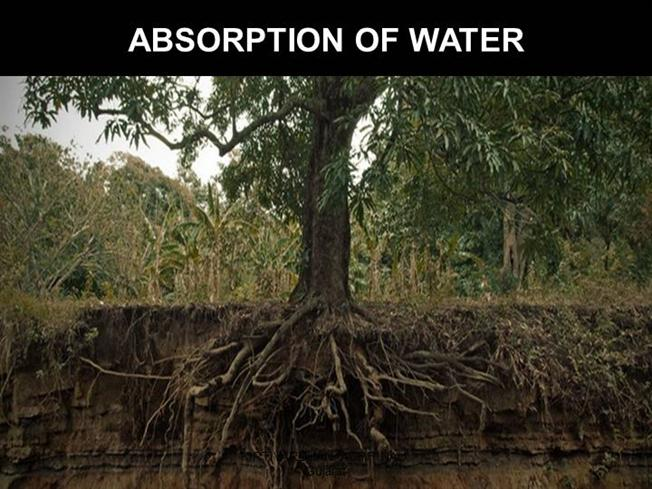 water absorption in plants Biology module - 2 absorption, transport and water loss in plants forms and function of plants and animals 192 notes water is the most important component of living cells it enters the plants through.