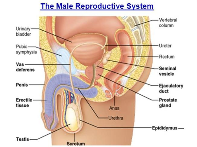 The Male Reproductive System Authorstream