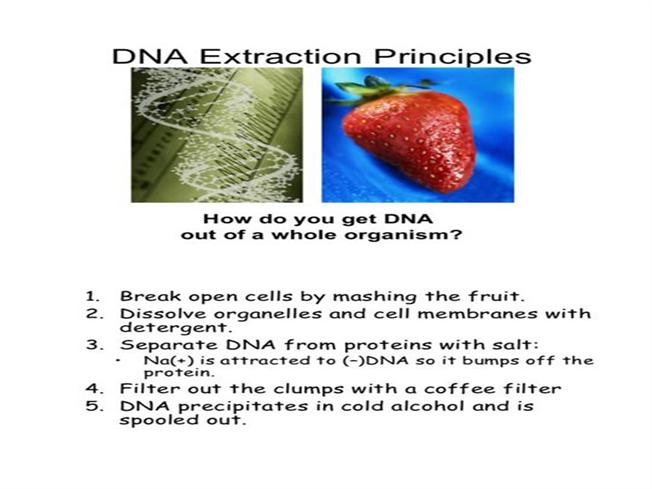 the dna extraction essay This experiment investigated the amount of dna extracted from strawberries this was done by using the independent variable of alcohol to affect the dependant variable of the amount of dna extracted.