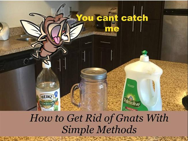 how to get rid of gnats with simple methods authorstream. Black Bedroom Furniture Sets. Home Design Ideas