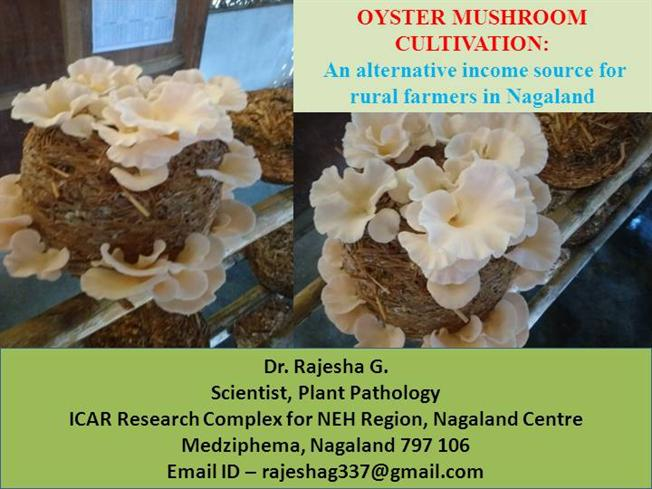 effectiveness of oyster mushroom cultivation training Training articles  growing mushrooms shiitake and oyster mushrooms can be grown at a small scale facility  cultivation of oyster mushrooms (pdf.