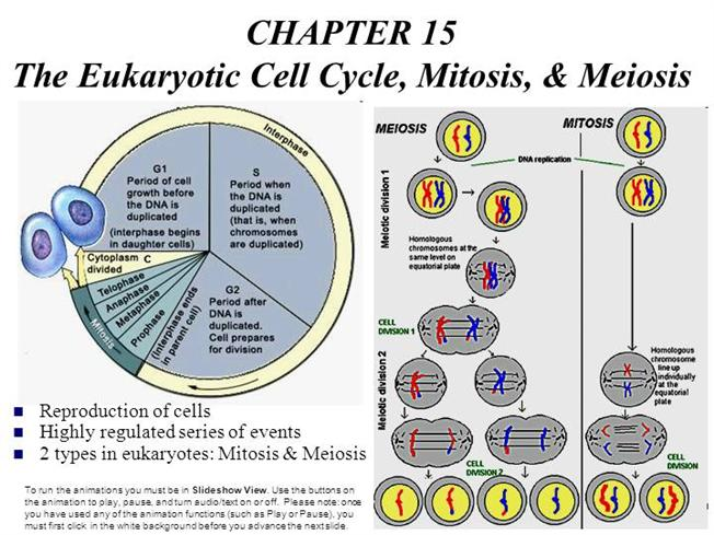 an analysis of the process of mitosis