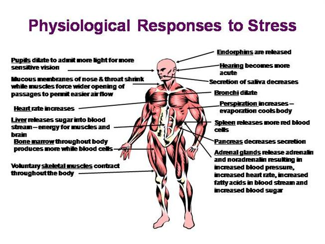 physiological responses to stress authorstream red liver diagram